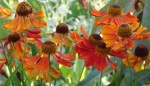 Hurrah for Heleniums