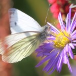 aster-and-white-butterfly