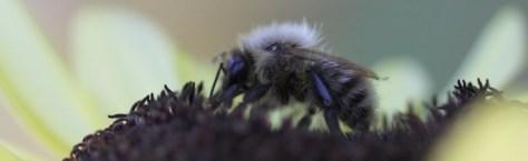 Bee feeding on Sunflower