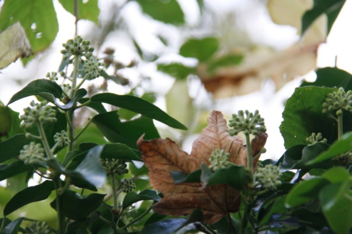 ivy-hedgerow