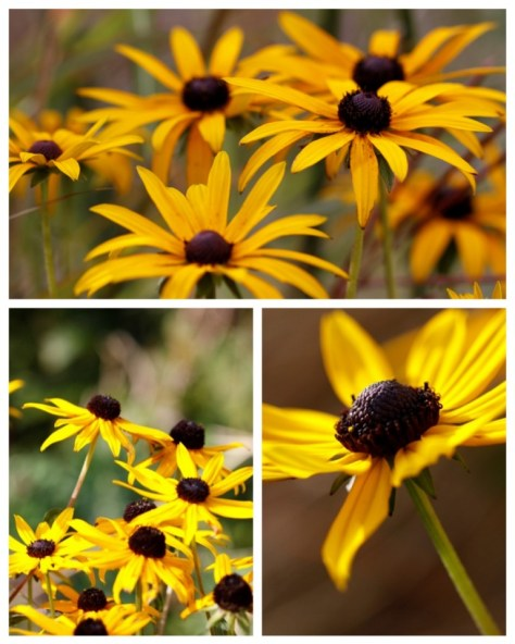 Rudbeckia-Collage