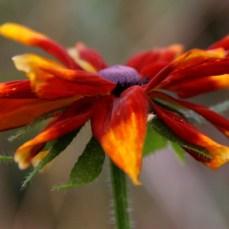 rudbeckia-flower02