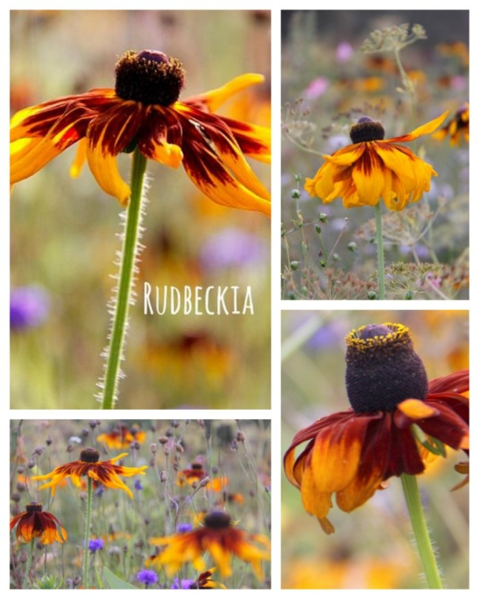 Rudbeckia-Cappucino