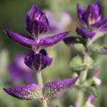 salvia-viridis-thumbnail