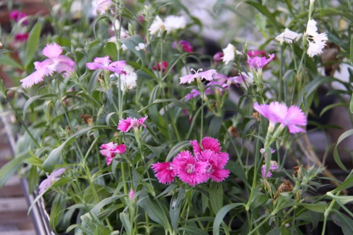 Dianthus-Greenhouse