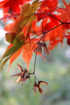 red-acer