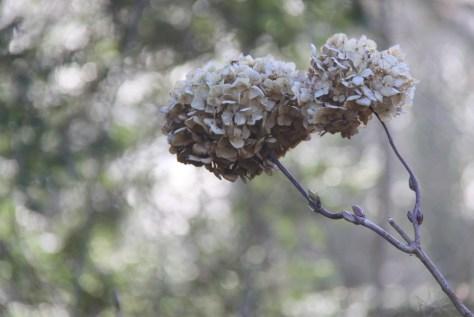 Hydrangea-Heads