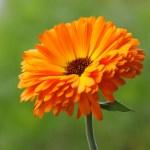 Calendula-Thumbnail