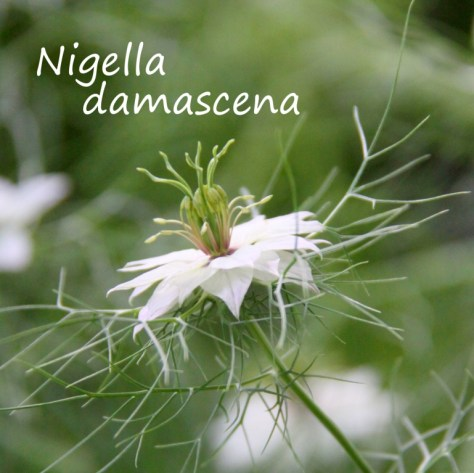 Nigella-damascena
