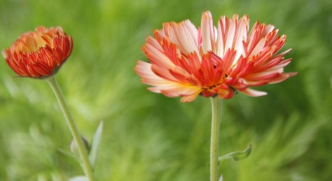 Calendula-Touch-of-Red