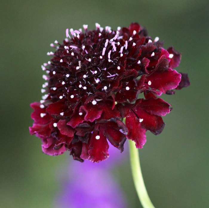 black-scabious-opt