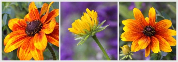 Rudbecia-Collage