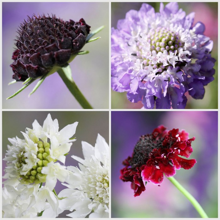 Scabious-Collage-opt