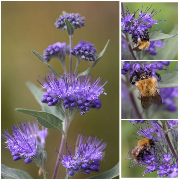 Caryopteris-Collage-Opt
