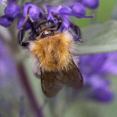 Caryopteris&Bee03