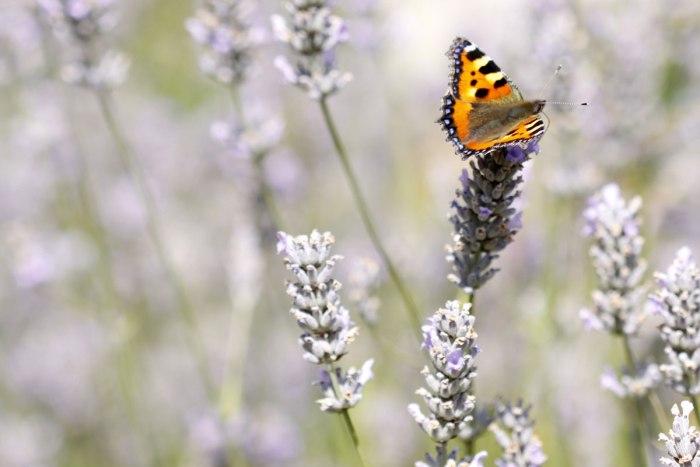 lavender-036