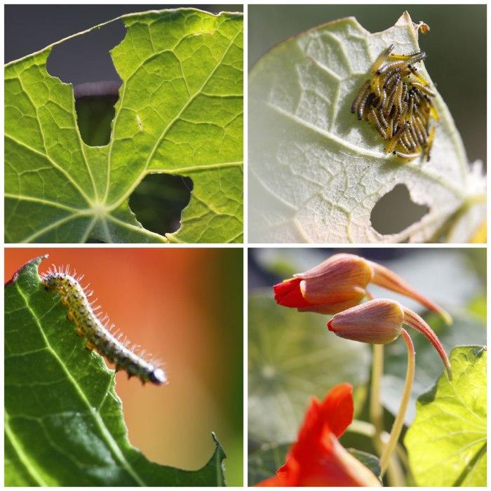 Nasturtiums-Caterpillars