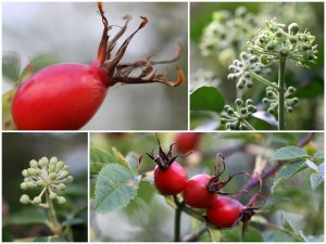 Rosehips&Ivy