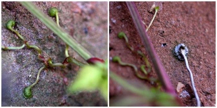 Parthenocissus-suckers