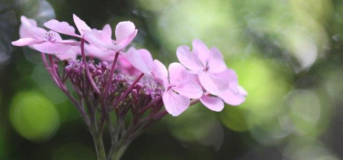 Pink-Hydrangea-Feature