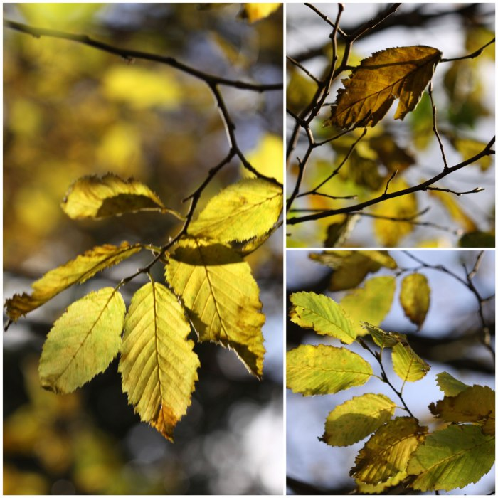 hornbeam-collage
