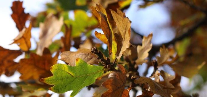 Oak-Header