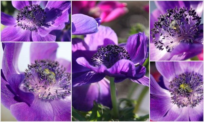 Anemone-coronaria-collage