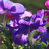 Anemone Coronaria The Crown
