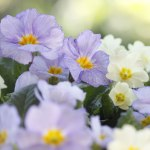 Pale-Blue-&-Yellow-Primroses