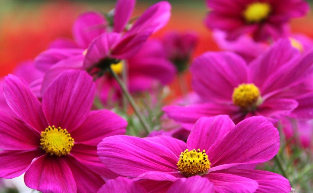 Cosmos-Bright-Pink