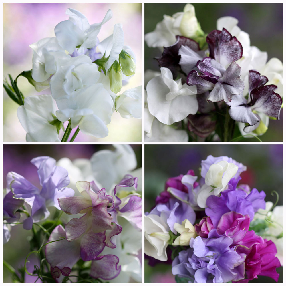 Sweet-Peas-Collage