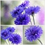 Blue-Cornflowers-Collage-30