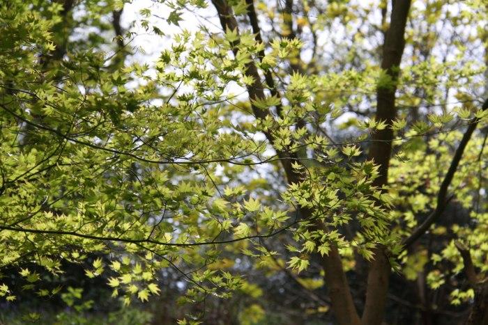 Acer-Lime-Green-Leaves