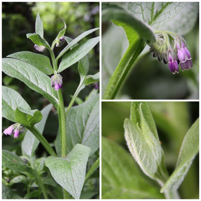 comfrey-collage