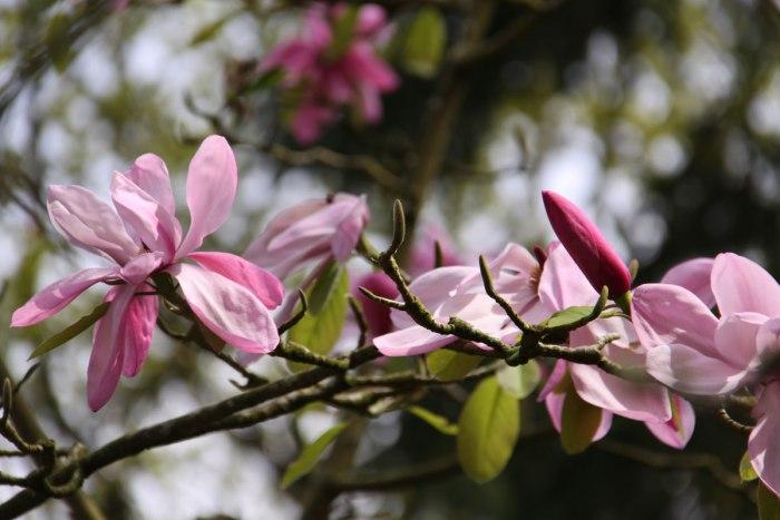 Magnolia-Burncoose