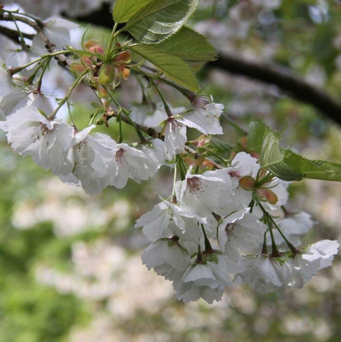 White-Cherry-Blossom-Gresga