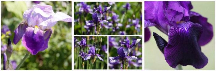 Iris-Collage