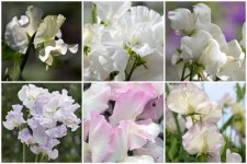sweet-pea-all-white-collage-700