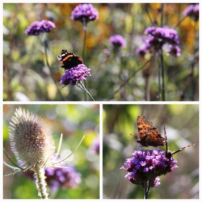 verbenabutterflies