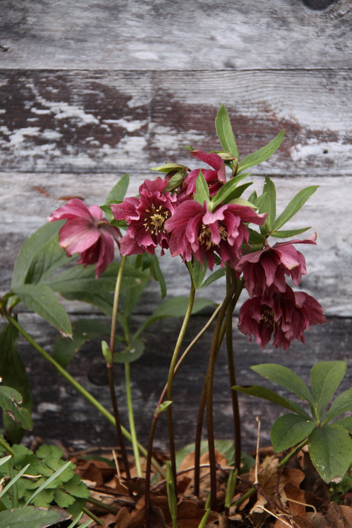 hellebore-and-barn-008