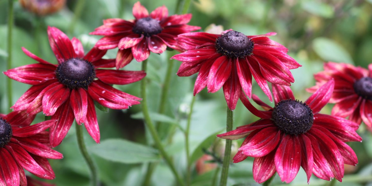 How to Grow Rudbeckia Cherry Brandy