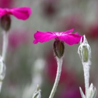 How to grow Lychnis coronaria