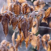 How to grow Hornbeam