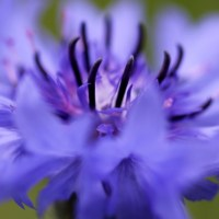 Growing Cornflowers from Seed