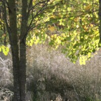 Caramel Katsura Trees