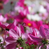 Grow Cosmos From Seed
