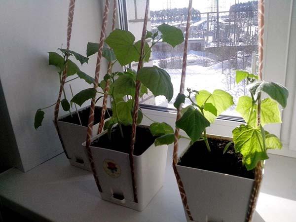 Огурцы зимой на подоконнике. Лучшие сорта огурцов для выращивания зимой на подоконнике