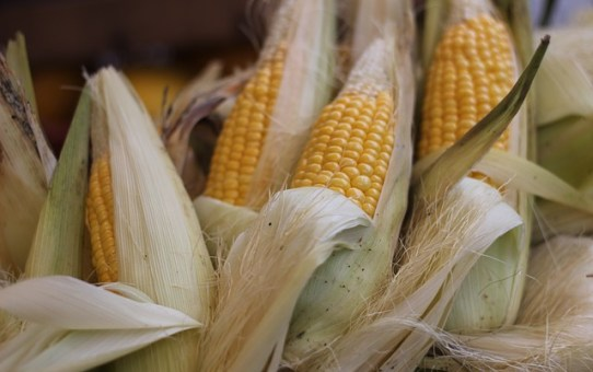 How to Make Chicos, Dried Corn on the Cob