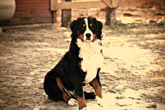 Katya - AKC Bernese Mountain Dog