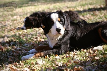 Paris - AKC Bernese Mountain Dog